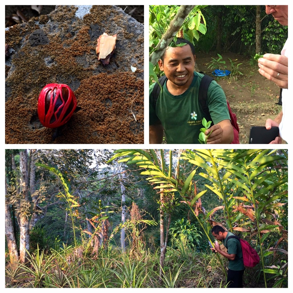 Discovering spices in the bush... nutmeg and cinnamon